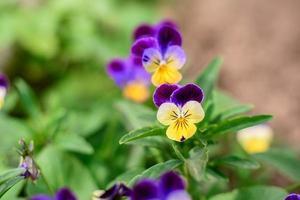 lindas flores azuis no jardim de verão contra o fundo de plantas verdes foto