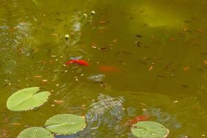 alimentando lindos peixes carpas vermelhas em um lago doméstico foto