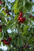 ramos com frutas vermelhas cereja em um fundo de céu azul foto