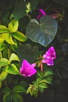 flores de ipomeia com fundo floral foto