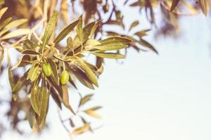 galho de oliveira com azeitonas foto