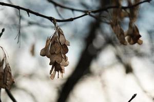 sementes de cinza seca marrom foto