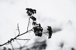 silhueta negra de galho morto seco em fundo branco de neve foto