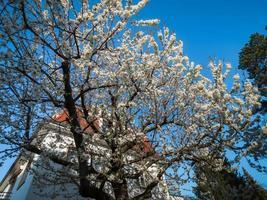 casas antigas em uma área residencial de Estrasburgo. primavera, árvores floridas. foto
