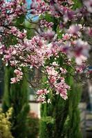 magnólias florescendo nos bairros antigos de strasbourg, primavera quente e ensolarada. foto