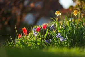 narcisos e tulipas sob os raios do sol poente. florescendo cidade de Estrasburgo, primavera. foto