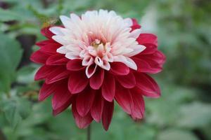 flor dália vermelha e branca foto