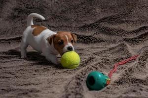 cachorro jack russell brinca com seus brinquedos. foto
