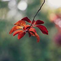 folhas vermelhas da árvore na natureza na temporada de outono fundo vermelho foto