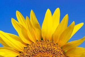 close-up de uma linda flor de girassol no céu azul foto