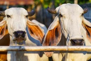 vacas em fazenda ao ar livre foto