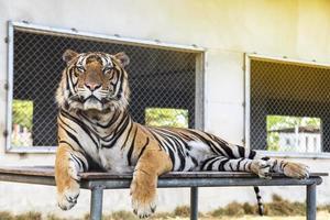 tigre no zoológico foto