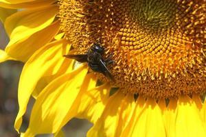 abelha em um girassol foto