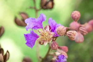 flor de lagerstroemia speciosa florescendo nativa nas Filipinas foto
