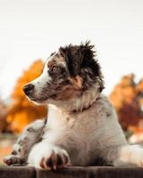 retrato de close-up de cão pastor australiano tricolor sentado à mesa de um parque natural apreciando o pôr do sol foto