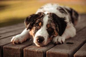 retrato de close-up de cão pastor australiano tricolor deitado sobre a mesa de um parque natural ocular ao seu redor foto