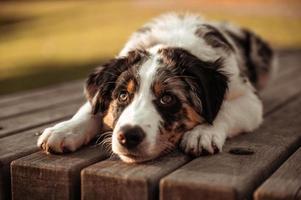 retrato de close-up de cão pastor australiano tricolor com olhos castanhos deitado sobre a mesa de um parque de olhos natural ao seu redor foto