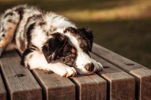 retrato de close-up de cão pastor australiano tricolor deitado na mesa de um parque natural apreciando o pôr do sol foto