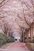 trilha de caminhada em um parque público em plena floração de lindas cerejeiras foto
