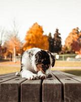retrato panorâmico de cachorro pastor australiano cão pastor tricolor de olhos castanhos deitado na mesa de um parque público foto