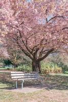 retrato panorâmico de uma cerejeira na primavera em um parque público foto