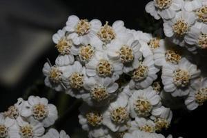 flor de flor branca close-up fundo impressão achillea millefolium foto