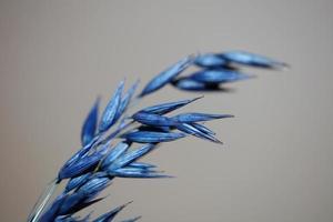 decoração seca de trigo colorido em azul triticum aestivum família poaceae foto