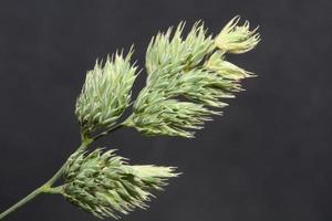 flor close up background modern dactylis glomerata family poaceae foto