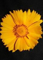 flor de flor macro botânica helianthus giganteus family compositae foto