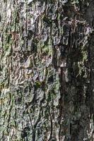 textura da casca de árvore para o fundo foto