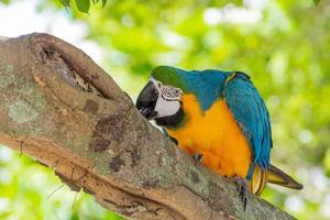 arara-de-peito-amarelo em tronco de árvore no rio de janeiro, brasil foto