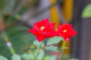mini rosa vermelha com folhas verdes desfocadas ao fundo foto