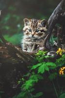 detalhe gato selvagem europeu retrato gato gatinho foto