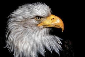 detalhe da águia careca da cabeça deste predador foto