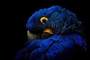 o retrato detalhado da arara-azul em fundo preto foto