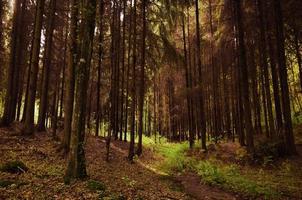 caminho verde em uma floresta densa de coníferas foto