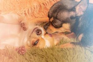 dois cachorros chihuahua em um cobertor foto