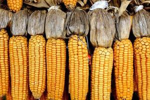 milho parede amarela fundo comida fazenda verão natureza madura foto