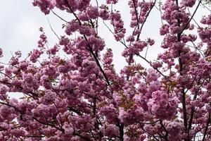 árvores frutíferas floridas no velho país perto de hamburgo, alemanha foto
