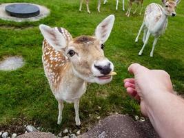 em blavand, cervos selvagens, mas confiantes, vêm às casas de férias para serem alimentados foto