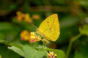 borboleta amarela em flor foto