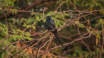 pássaro preto sentado na árvore foto