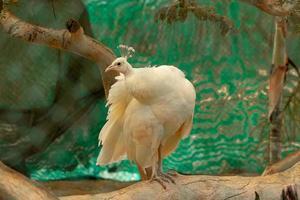 lindo pavão branco no zoológico foto