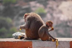 macaco rhesus macaque, macaco sentado na parede, comendo banana foto