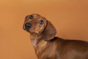 cachorro pequeno sendo adorável estúdio de retratos foto