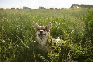 o cachorro fofo brincando na grama foto