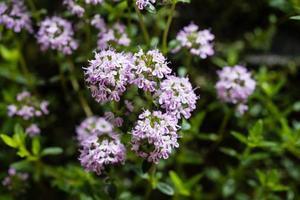 salgadas satureja hortensis deliciosas ervas de cozinha foto