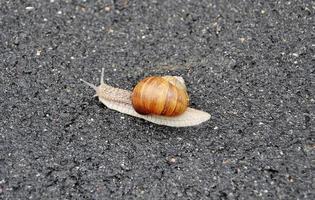 grande caracol de jardim com concha rastejando na estrada molhada, volte para casa foto