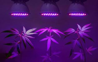 planta muda de cannabis crescendo em vaso com luz led de crescimento foto