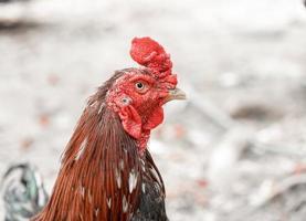 close-up cara de frango no fundo da natureza foto